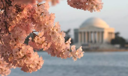 cherry-blossoms-at-jefferson